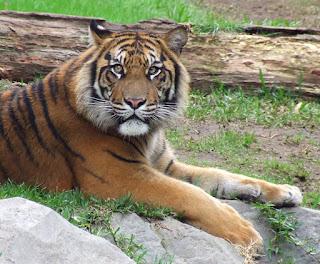 Beberapa Fakta Tentang Harimau Sumatera