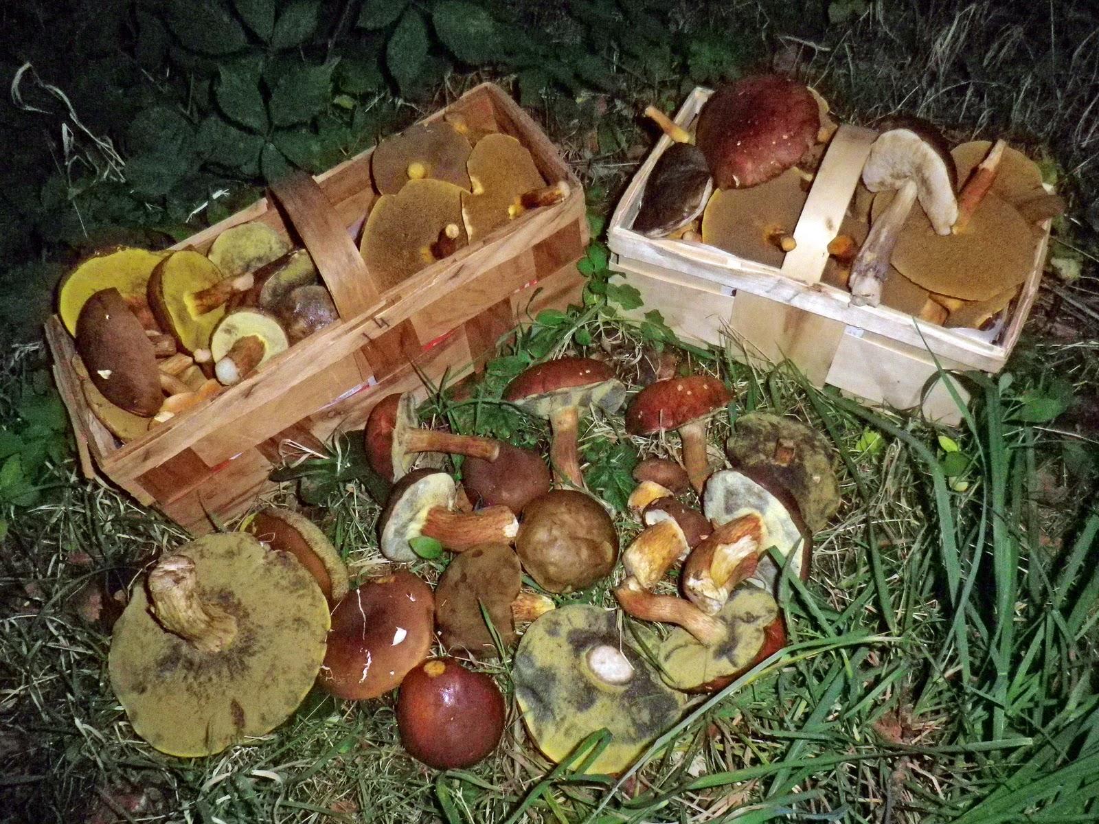 pilze sammeln und pilze bestimmen blog pilze sammeln in hamburg. Black Bedroom Furniture Sets. Home Design Ideas