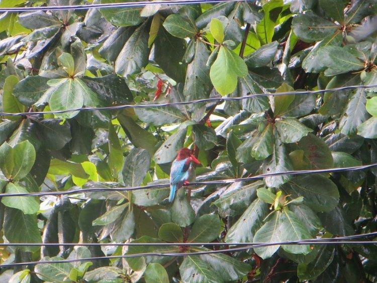 Тайская яркая птица сидит на проводах