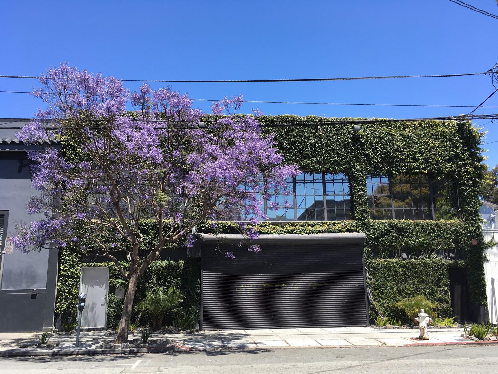 Jacaranda Mimosifolia In Full Bloom Along 14th Street In San Francisco.