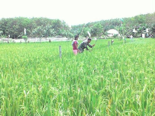 Babinsa Koramil 13/Buntu Pane Dampingi Petani Memasang Patok Alat Untuk Mengusuri Burung