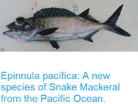 https://sciencythoughts.blogspot.com/2018/02/epinnula-pacifica-new-species-of-snake.html