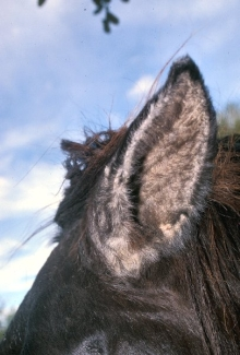 Horse Life And Love All About Otitis Externa