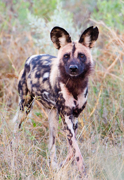 African Painted Dogs Picture Unique Updates