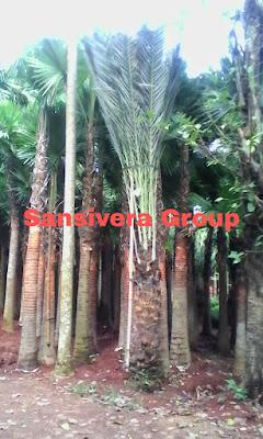 Jual Pohon Kurma Azwa Betina Murah