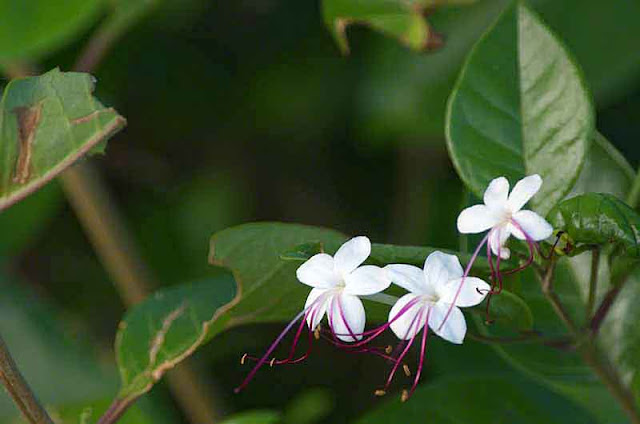 plant, leaves, flowers, Clerodendrum inerme