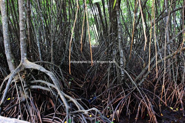 Lantai hutan mangrove di Wisata Hutan Payau Cilacap.