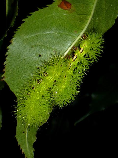 Automeris lauta caterpillar