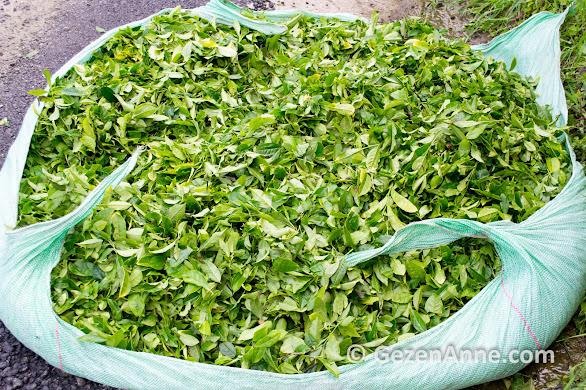 yeni toplanmış yaş çay yaprakları, Rize