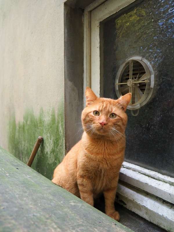 ginger cat rescue