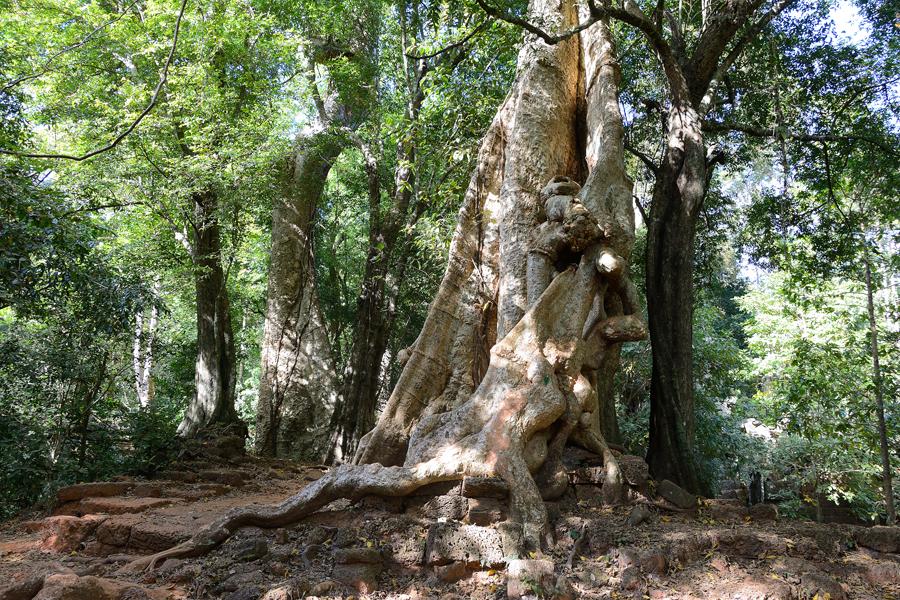 Angkor, Angkor Thom, Bajon, drzewa kapokowe