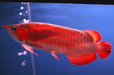 Cara Jitu Memilih Ikan Arwana Yang Baik dan sehat