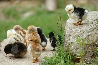 Cara Budidaya Ayam Kampung Asli