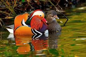 Bebek Mandarin sedang berenang dengan pasanganya