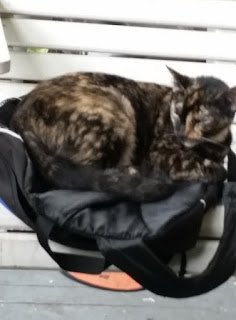 porch cat in back pack