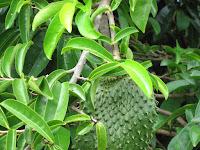Obat Kanker Payudara Tradisional