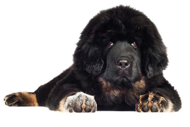 Giống chó ngao Tây Tạng