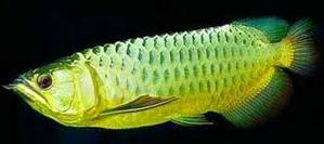 Jenis Ikan Ikan Arwana Banjar
