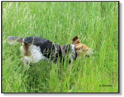 übermütiger Beagle
