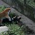 Harimau Siberia serang gadis penjaga zoo yang datang bawa makanan