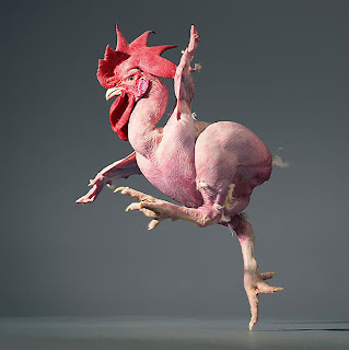 Gallo bailando