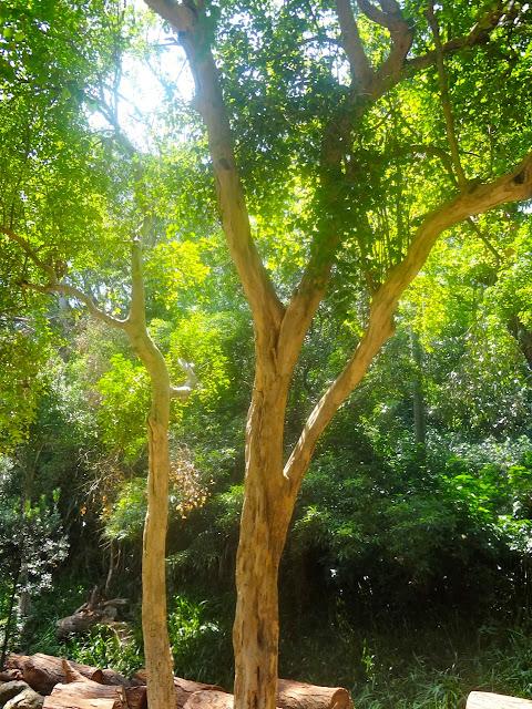 Pitangueira - Parque Aclimação