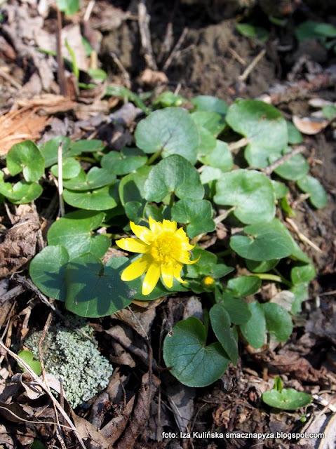 ziarnopłon wiosenny , rośliny , kwiaty , wiosna , las łęgowy , łęgi , nad rzeką , nad wisłą , przyroda , wiosenna wycieczka , wędrowanie ,