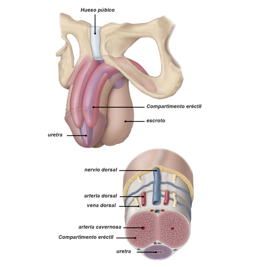 acido hialuronico para el pene