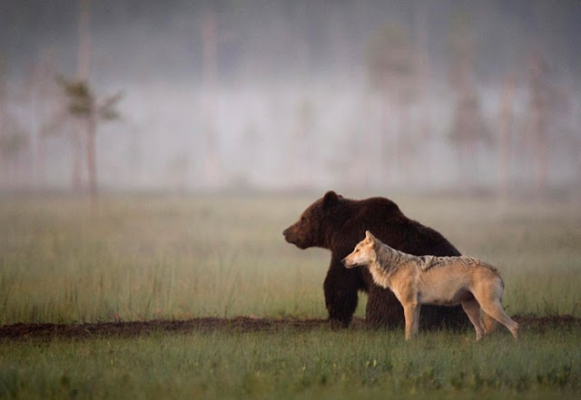 Rare Pictures Show Unusual Friendship Between Wolf And Bear In Wild Finland