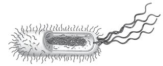 Bakteri merupakan organisme uniselular.