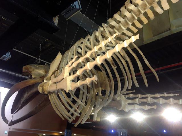 Esqueleto de uma baleia Jubarte suspenso no saguão principal do AquaRio