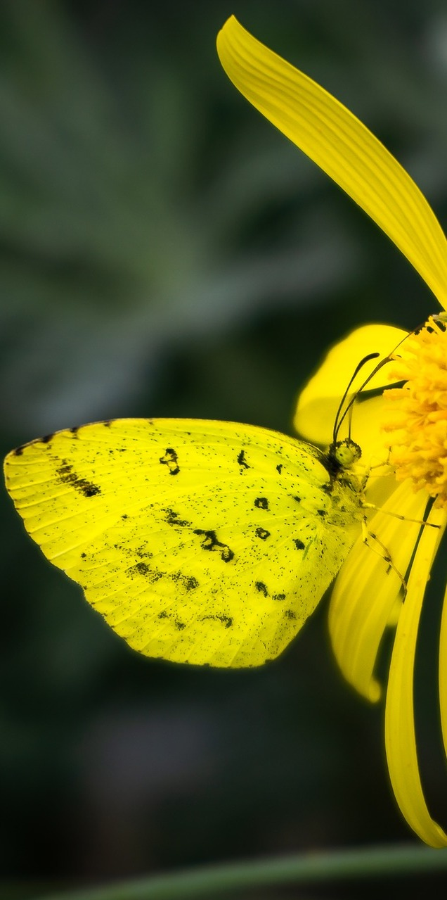 A yellow butterfly on a yellow flower.