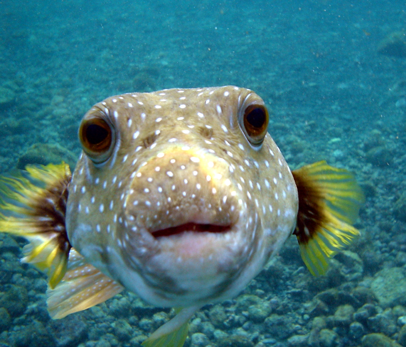 Puffer fish animal wildlife for It s about the cross go fish