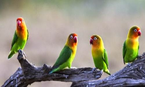 Berikut hal hal yang terkait dengan cara ternak lovebird Rajajangkrik-Perlu Anda Tahu 2020, Cara Beternak Burung Lovebird Lengkap Untuk Pemula