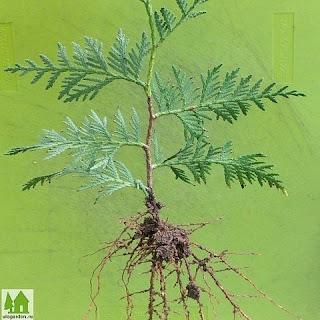КАК вырастить тую, уход за туей,кустарники,деревья,дача,как,пересаживать