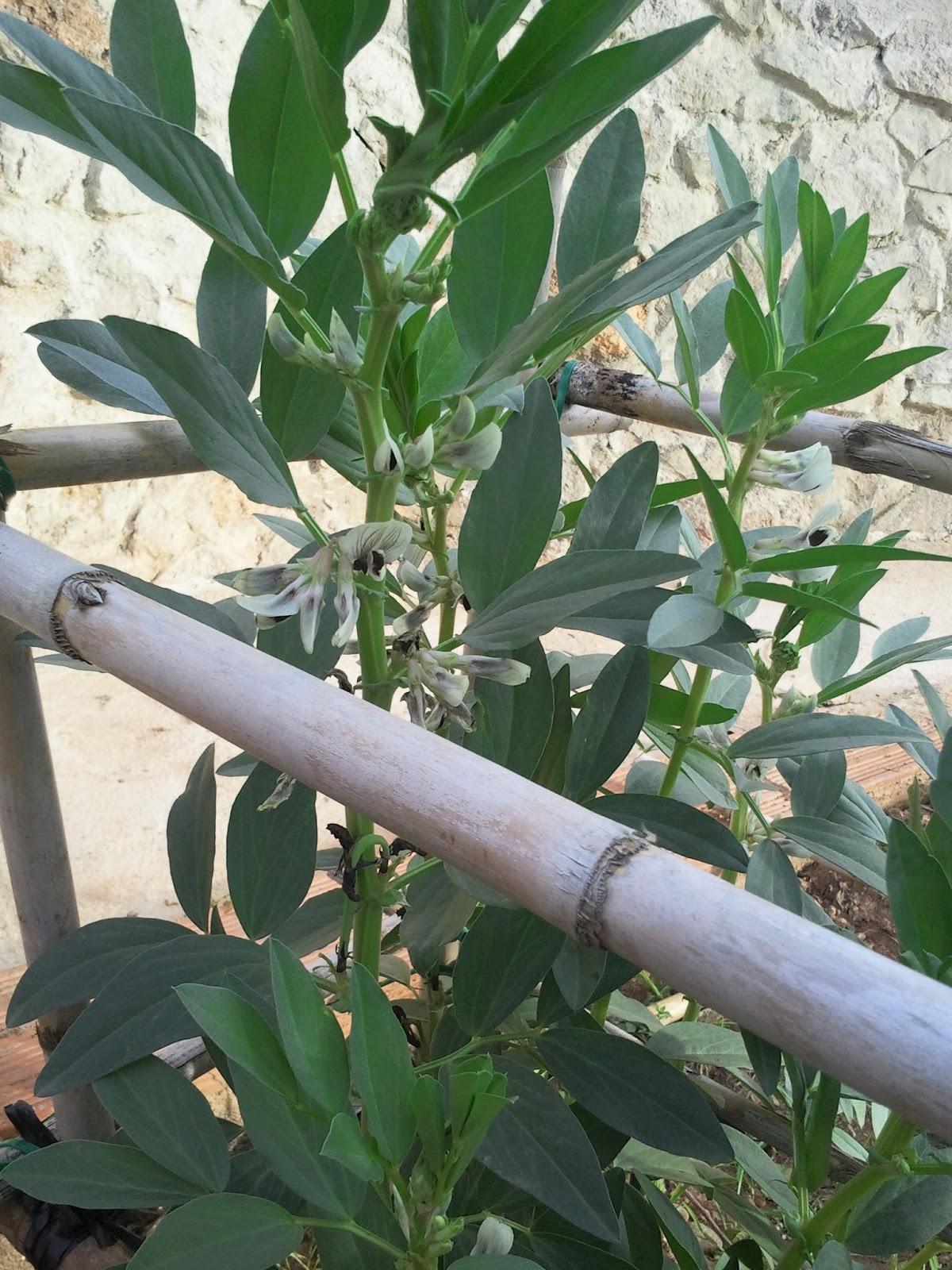 Todo sobre mi Huerto: El cultivo de las Habas