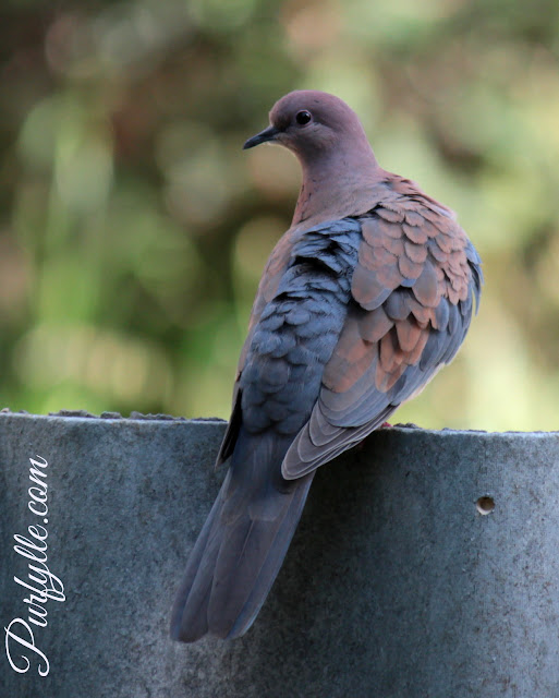 Laughing Turtle Dove - I think this is the female