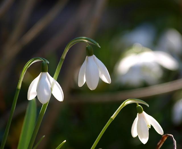 Enkelte vintergækker i haven i marts