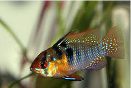 klasifikasi German Blue Ram Fish