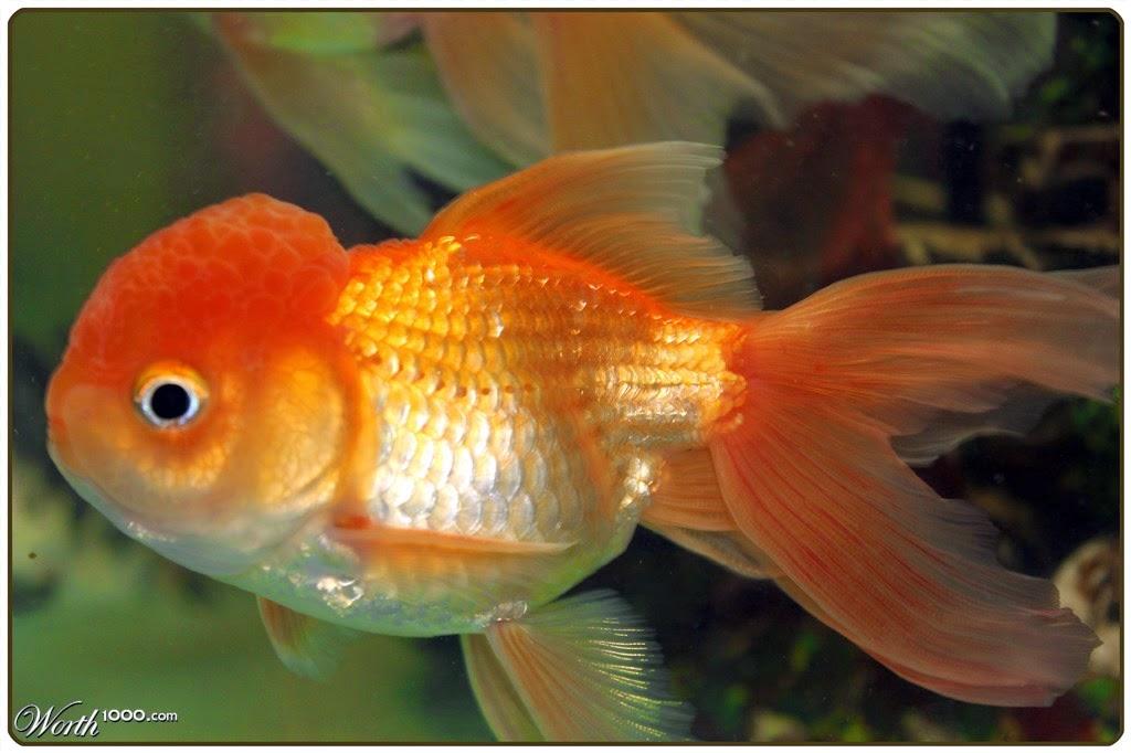 Blue bubble eye goldfish - photo#42