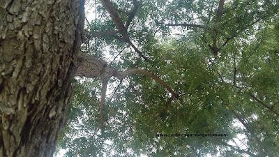 Tipuana tipu con las semillas aún colgando de sus ramas