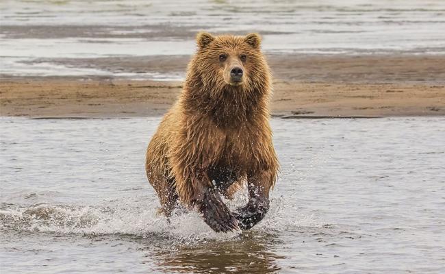 Beruang Kodiak