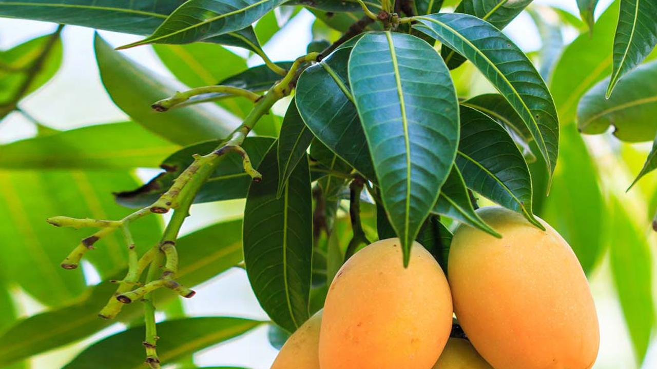 mango, mango leaves