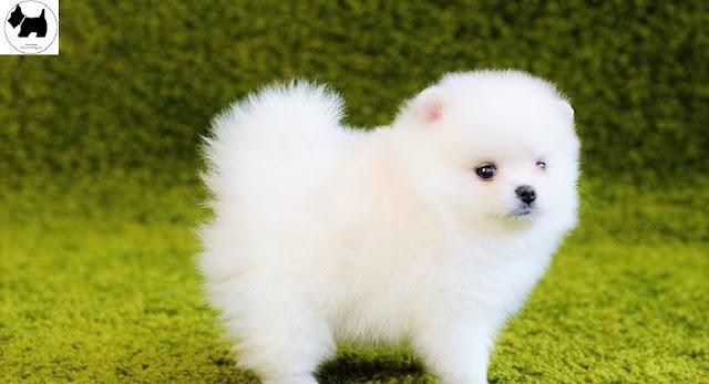Cutest Dog Breeds, Best Dog, Pomeranian Dog puppies