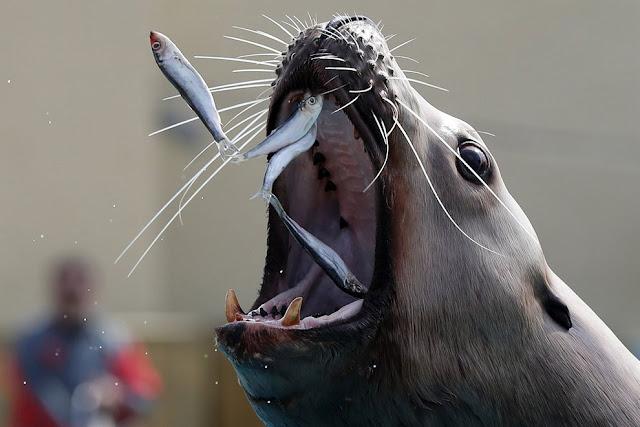 Морского льва кормят сардинами в тематическом парке Маринеланд во Французской Ривьере