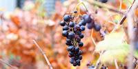 beskæring af vin