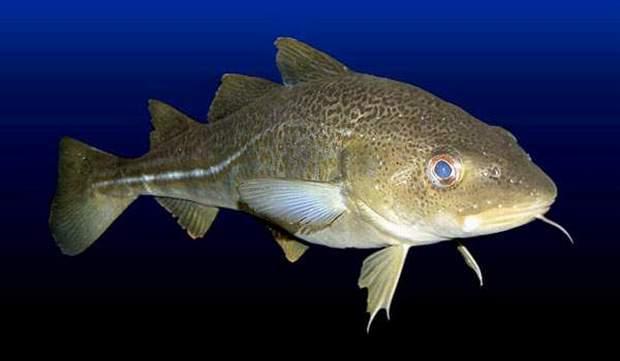 Gambar Ikan Ikan Kod