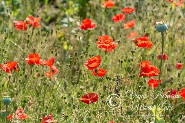 Poppies by Bradwell Abbey