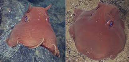 Flapjack octopus