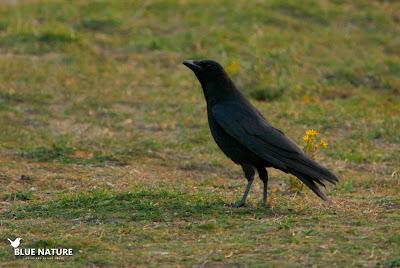Corneja negra (Corvus corone) en la entrada al Parque Nacional de Guadarrama